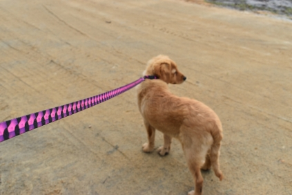 HoneyBear-Groodle-Banksia Park Puppies - 9 of 29