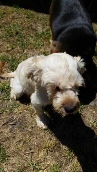 NOODLE- Banksia Park Puppies - 1 of 26