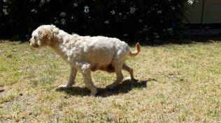 NOODLE- Banksia Park Puppies - 12 of 26