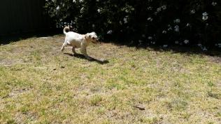 NOODLE- Banksia Park Puppies - 13 of 26