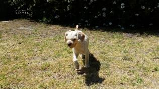 NOODLE- Banksia Park Puppies - 14 of 26