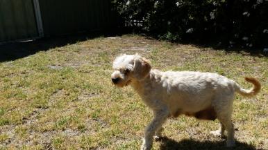 NOODLE- Banksia Park Puppies - 15 of 26