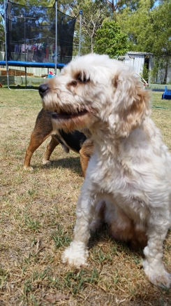 NOODLE- Banksia Park Puppies - 17 of 26
