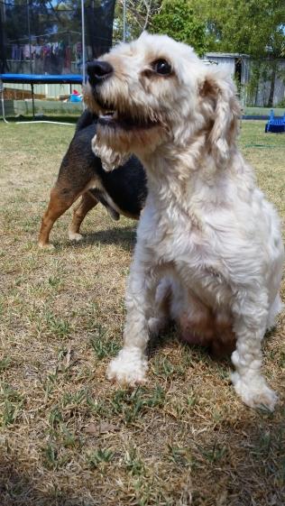 NOODLE- Banksia Park Puppies - 18 of 26