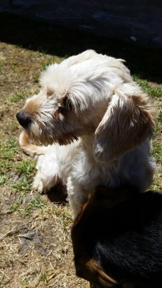 NOODLE- Banksia Park Puppies - 2 of 26