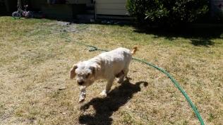 NOODLE- Banksia Park Puppies - 4 of 26