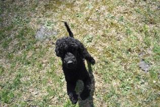 Razzie-Poodle-Banksia Park Puppies - 11 of 34