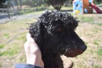Razzie-Poodle-Banksia Park Puppies - 14 of 34