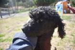 Razzie-Poodle-Banksia Park Puppies - 15 of 34