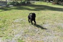 Razzie-Poodle-Banksia Park Puppies - 2 of 34