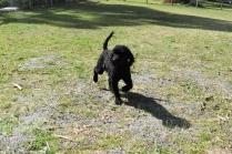 Razzie-Poodle-Banksia Park Puppies - 3 of 34