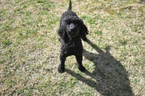 Razzie-Poodle-Banksia Park Puppies - 5 of 34