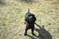 Razzie-Poodle-Banksia Park Puppies - 7 of 34