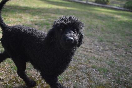 Razzie-Poodle-Banksia Park Puppies - 9 of 34