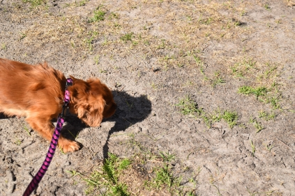 Roza-Cavalier-Banksia Park Puppies - 1 of 47