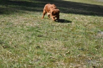 Roza-Cavalier-Banksia Park Puppies - 12 of 47