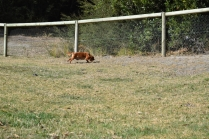 Roza-Cavalier-Banksia Park Puppies - 15 of 47