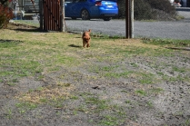 Roza-Cavalier-Banksia Park Puppies - 16 of 47