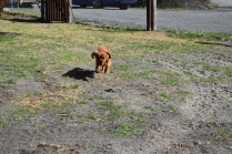 Roza-Cavalier-Banksia Park Puppies - 17 of 47