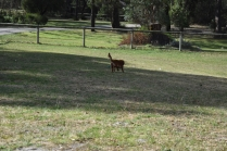 Roza-Cavalier-Banksia Park Puppies - 28 of 47