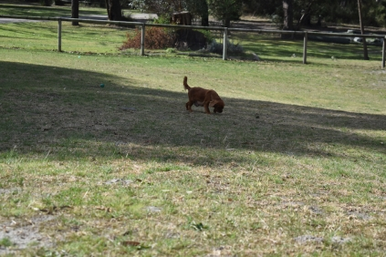 Roza-Cavalier-Banksia Park Puppies - 29 of 47