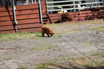 Roza-Cavalier-Banksia Park Puppies - 34 of 47