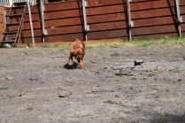 Roza-Cavalier-Banksia Park Puppies - 37 of 47