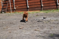 Roza-Cavalier-Banksia Park Puppies - 38 of 47