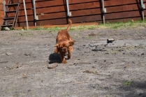Roza-Cavalier-Banksia Park Puppies - 39 of 47