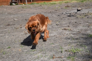 Roza-Cavalier-Banksia Park Puppies - 41 of 47