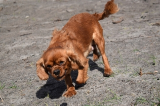 Roza-Cavalier-Banksia Park Puppies - 42 of 47