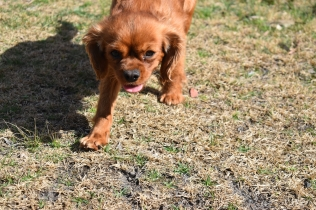 Roza-Cavalier-Banksia Park Puppies - 46 of 47