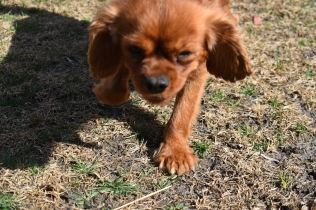 Roza-Cavalier-Banksia Park Puppies - 47 of 47