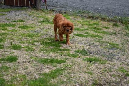 Scarlette-Cavalier-Banksia Park Puppies - 1 of 12