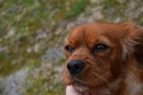 Scarlette-Cavalier-Banksia Park Puppies - 7 of 12