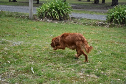 Scarlette-Cavalier-Banksia Park Puppies - 9 of 12
