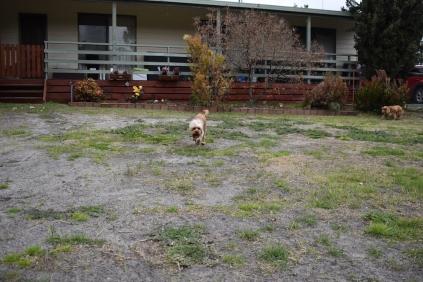 Skipper-Cavoodle-Banksia Park Puppies - 1 of 20