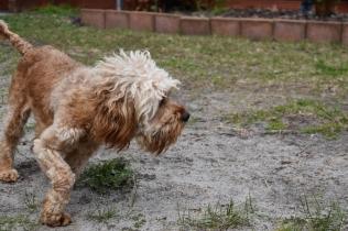 Skipper-Cavoodle-Banksia Park Puppies - 10 of 20