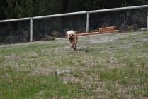 Skipper-Cavoodle-Banksia Park Puppies - 14 of 20