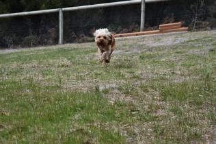 Skipper-Cavoodle-Banksia Park Puppies - 15 of 20