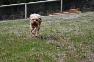 Skipper-Cavoodle-Banksia Park Puppies - 16 of 20