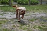 Skipper-Cavoodle-Banksia Park Puppies - 20 of 20