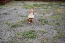 Skipper-Cavoodle-Banksia Park Puppies - 3 of 20