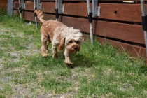 Skipper-Cavoodle-Banksia Park Puppies - 4 of 20