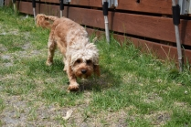 Skipper-Cavoodle-Banksia Park Puppies - 5 of 20