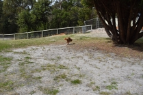 Skipper-Cavoodle-Banksia Park Puppies - 7 of 20