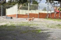 Skipper-Cavoodle-Banksia Park Puppies - 8 of 20