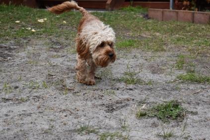 Skipper-Cavoodle-Banksia Park Puppies - 9 of 20