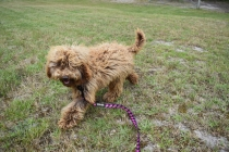 Bling-Poodle-7510-Banksia Park Puppies - 19 of 100