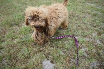 Bling-Poodle-7510-Banksia Park Puppies - 20 of 100